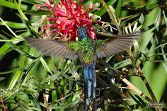 Beija-flor Tesoura na Grevílea-anã  Pictures of Hummingbirds in my region and in my own garden!