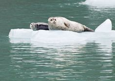Harbor Seal with Pup - Endicott Arm
