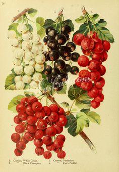 White Grape Currant, Black Champion Currant, Perfection Currant, Fay's Prolific Currant      ...