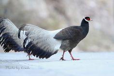 (Brown Eared Pheasant)Crossoptilon mantchuricum | by frieda6688