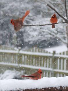 cardinals + snow