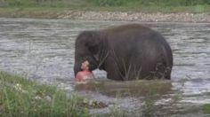 """""""O Grito do Bicho"""": Filhote de elefante corre para salvar treinador em..."""