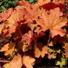 Heuchera 'Kassandra' PP21,466atSan Marcos Growers - THE PEACHY KEEN COLORING REALLY WORKS WELL IN CONTAINER GARDENS WHEN THIS IS TUCKED AS A FILLER IN THE RIGHT POT - CATHY T
