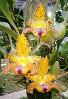 monkey orchid - dracula simia | gardening tips | pinterest | orchidées