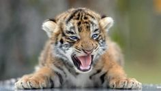 Amazing Tigers | www.qltyctrl.com