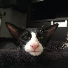 Oriental shorthair b Oriental shorthair bicolor Moby Pretty Cats, Beautiful Cats, Animals Beautiful, Cute Animals, Pretty Kitty, Beautiful Creatures, I Love Cats, Crazy Cats, Cool Cats