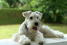 #Miniature #Schnauzers #dog