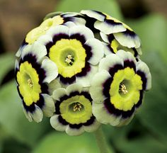 Primula Auricula    'Sirus'  Photograph by Derek St. Romaine