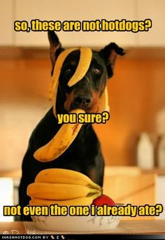 funny dog pictures - so, these are not hotdogs?      you sure?      not even the one i already ate?