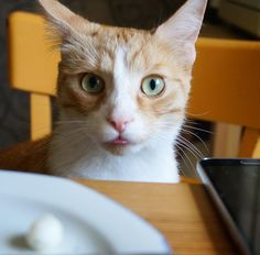 Cat sitting at table and looking stupid. Mini mozzarella it was.