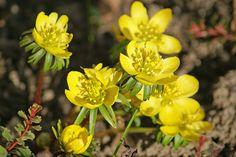 Gelbe Winterlinge leuchten in der Sonne...