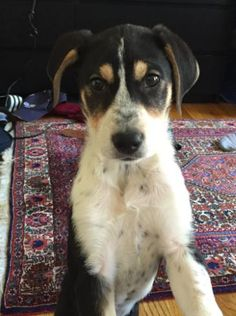Meet WADSWORTH, a Petfinder adoptable Beagle Dog | Nyc, NY | Please VISIT OUR FACEBOOK PAGE AND WEBSITE for the latest Social Tees news!...