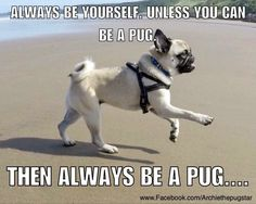 Pug funnies