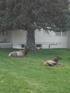 Yellowstone National Park Elk Resting Outside The Restrooms Near Extraordinary Mammoth Hot Springs Hotel Dining Room Inspiration Design