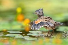 fairy-wren:  (via 黑冠麻鷺 ~ Malaysian Night Heron ~ by FuYi Chen / 500px)
