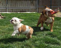 Bulldogs having fun!