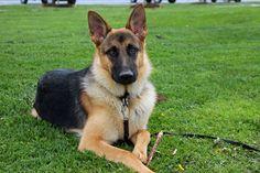 My handsome puppy, Shep
