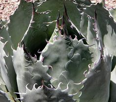 Click image for larger version Name: agave parrasana (1).jpg Views: 62 Size: 93.6 KB ID: 6725