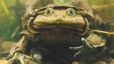 Image copyright                  Nature Picture Library/Alamy                  Image caption                                      The Titicaca water frogs are an endangered species                                Peru's environmental agency is investigating the deaths of some 10,000 frogs whose bodies have been found in a river in the south of the country. A