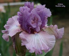 best friend bearded iris
