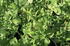 Näin keräät ja kasvatat villiyrttejä:: MEHUKAS VIHANNESPORTULAKKA Vihannesportulakka (Portulaca oleracea susp. sativa) on jo keskiajalla käytetty ruokayrtti, joka oli Suomessa vuosisatojen ajan tärkeä C-vitamiinin lähde. Se on rönsyilevän koristeellinen, mehukas ja kiiltävälehtinen kasvi, jonka tuoreita versoja voi syödä sellaisenaan salaatissa.