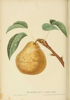 The fruits of America : containing richly colored figures, and full description of all the choicest varieties cultivated in the United States Free Collage, Commercial Art, The Borrowers, Fabric Crafts, Pear, Flora, Clip Art, Product Description, The Unit