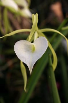 Brassavola nodosa Orchid