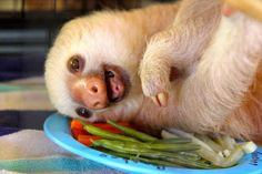 Vegetables are so funny! | Don't Be Sad, Look At These Baby Sloths Eating Vegetables