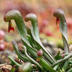 Carnivorous plants image Darlingtonia californica