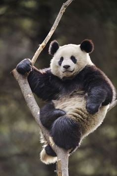 A young giant panda chills out in a tree at the Wolong National Nature Reserve in China