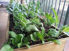 Espinaca plantada en mesa de cultivo