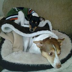 My Rat Terriers, Sadie and Cosmo! Love them so much!