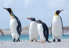 Falkland Islands is home to 5 different species of penguin, a perfect place to see them (and sea lions) frolicking along in their natural habitat. You may even be lucky enough to spot killer whales here.