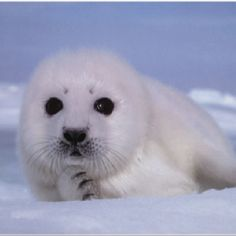 Please help stop the killing of these innocent baby seals. http://action.humanesociety.org/site/MessageViewer?em_id=33441.0