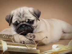 I'm catching up on my reading! Thank you to DaPuglet Pugs.   www.jointhepugs.com/  #pug #pugpower #pugsnotdrugs #puglove #cuteness #dogs