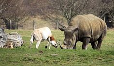 alaaqal: غزال يقاتل وحيد القرن