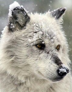 Wolves are not man killers and would be more inclined to run away from a human rather than blindly attack one, get your information correct and stop putting more false crap on wolves. Its people like you that are the reason wolves often have such a nasty reputation.