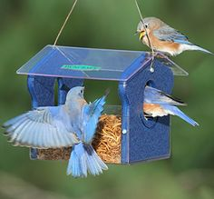 When the bluebirds start nesting they'll need all the tasty mealworms they can get.