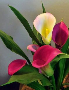 Facts on calla lily, including biology of the Calla lily plant, growing and care tips with pictures and recommended Calla lilies bouquet.  #CallaLily #Garden