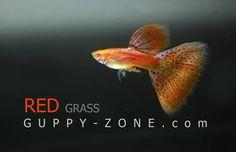 RREA red Grass guppy Red Grass, Guppy, Tropical Fish, Aquarium Fish, Fresh Water, Shrimp, Fancy, Animals, Animales