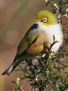 Cape White-eye. These beautiful birds are endemic to ZA and do well in residential gardens (Kevin Shakespeare)