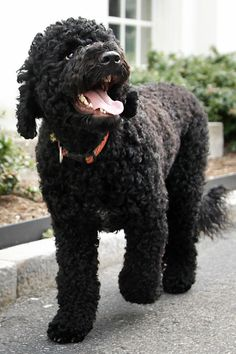 Sunny, a Portuguese Water Dog, is an Obama family dog.