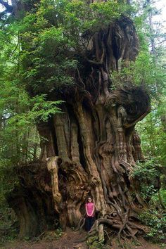 Big Cedar Tree, (tiny girl) Olympic National Park by woodleywonderworks Le Baobab, Weird Trees, Cedar Trees, Unique Trees, Old Trees, Nature Tree, Big Tree, Tree Forest, Belleza Natural