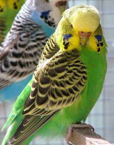 Tout savoir sur la perruche ondulée ! http://inspirations.desjardins.fr/la-perruche-ondulee/