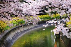 京都市山科区にある山科疏水の桜と菜の花。桜のピンク・白と菜の花の黄色の見事なコントラスト。春の水辺の美しい彩り。2016年4月4日訪問、撮影。