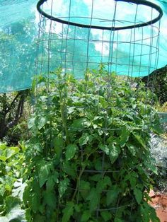 Outback Edge Harvest: Supporting Tomatoes in Wicking Beds