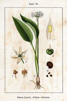 Allium ursinum - Wood Garlic - Daslook - Bärlauch