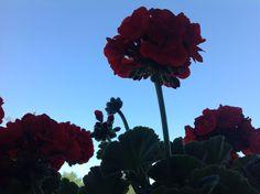 Mijn uitzicht vanmiddag vanachter de geraniums. Geen wolkje aan de #lucht. #35dagen #anderskijken #Dag17 #synchroonkijken17