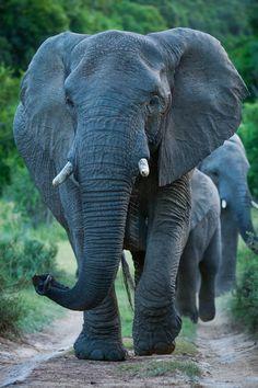 The Matriarch elephant - by Nelis Wolmarans Photo Elephant, Asian Elephant, Elephant Love, Elephant Art, Elephant Sculpture, African Forest Elephant, Elephant Jewelry, Elephant Design, The Animals