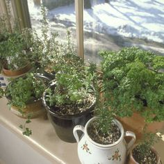 These 10 herbs are excellent for growing indoors during the winter months!